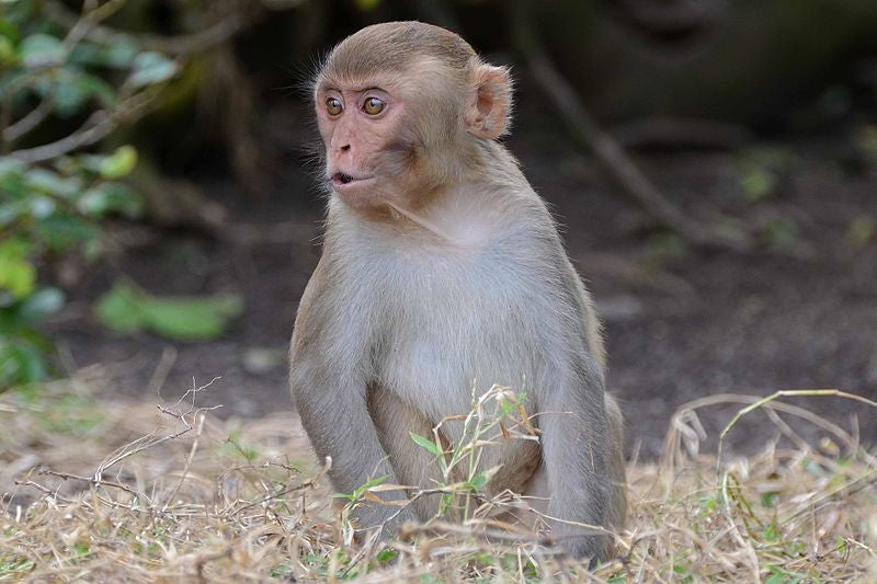 Monkeys Make The Same Bad Gambling Decisions That Humans Do