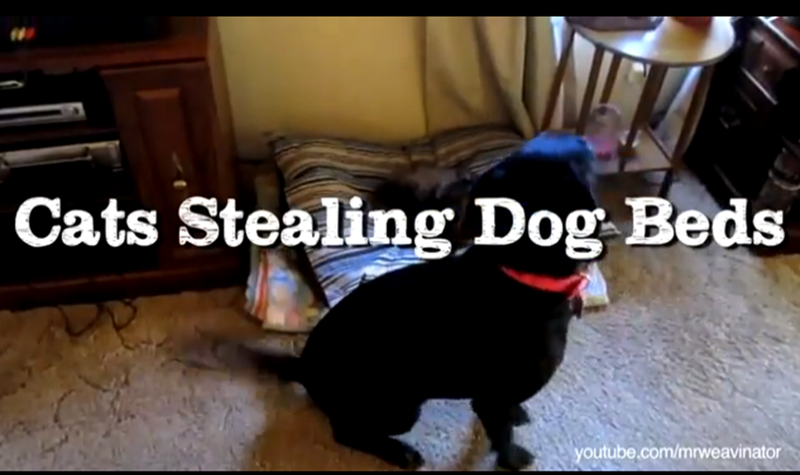All Cats Do Is Steal Dog Beds, and There's Nothing You Can Do About It