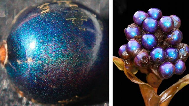 This Is the Shiniest Living Thing on the Planet