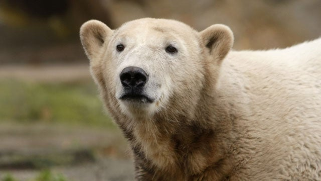 Knut The Polar Bear To Be Stuffed And Put On Display; Outcry Ensues