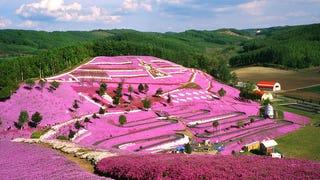 Shibazakura flowers, Hokkaido, Japan.