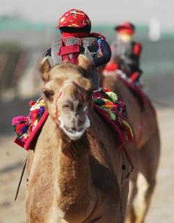 Robo-Camel Jockeys of Qatar No Longer Melting, Whip at Different Speeds