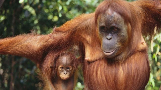Orangutan DNA offers a strange genetic mystery