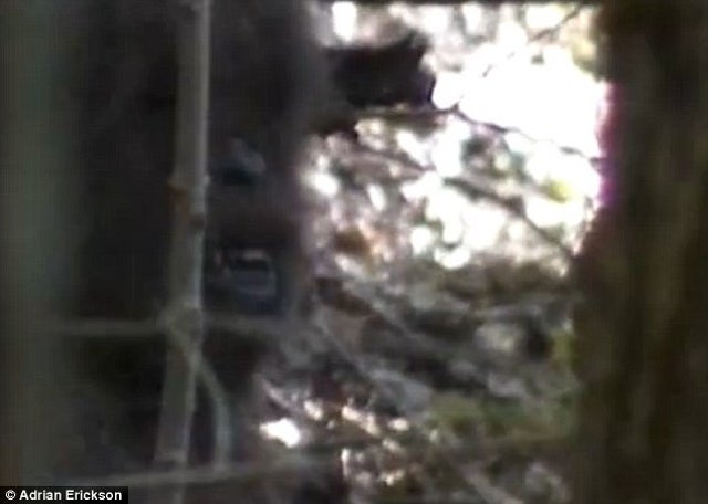 "New ""footage"" of Bigfoot emerges"
