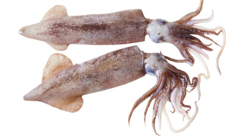 Squid Have Marathon Sex Until They're Too Tired To Swim Away From Predators And Then Die