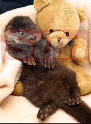 Recovering Otter Cuddles Teddy Bear • Russian Baby Born With Two Penises