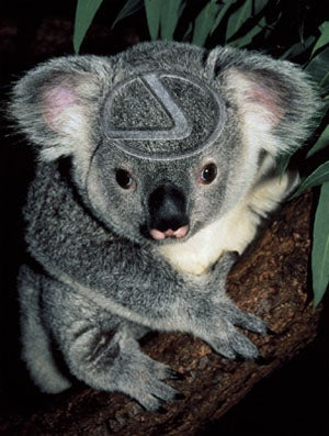 Aussie Motorist Hits Koala, Koala Survives Only To Find Out It Has The Clap