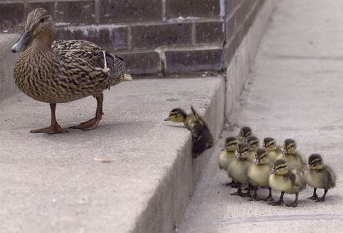 Mother Duck And Babies Prefer Park Avenue Real Estate