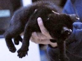 Cat Lancer