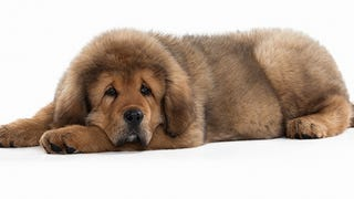 Nobody In China Wants Tibetan Mastiffs Anymore