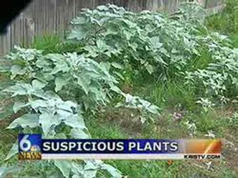 Cops' 400 Pot Plants Turn Out to Be Horsemint