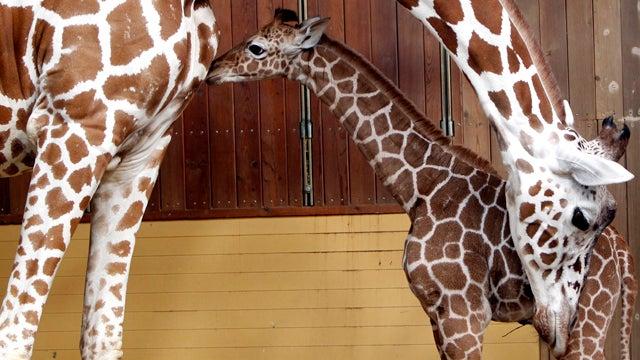 Baby Giraffe Stays Within Mom's Reach