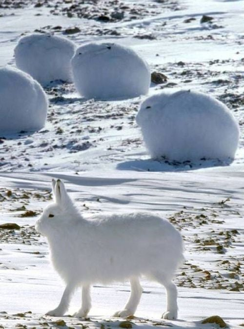 'Morning. This is the arctic hare