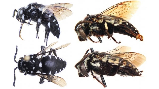 A new species of bee that survives solely by invading other beehives
