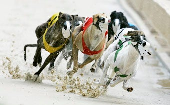 Champion Greyhounds Were on Cocaine