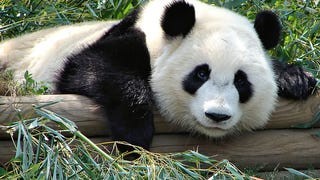 We need to stop blaming the Giant Panda for its own extinction