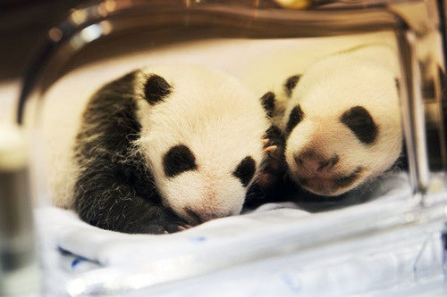Behold: Adorable Newborn Panda Twins