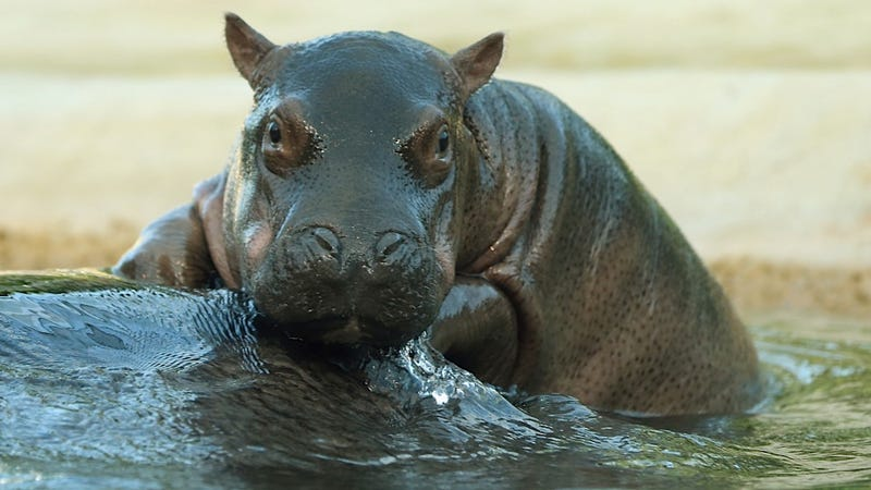 Baby Hippo Would Love to Make You Sunday Pancakes, but He Doesn't Have Any Hands