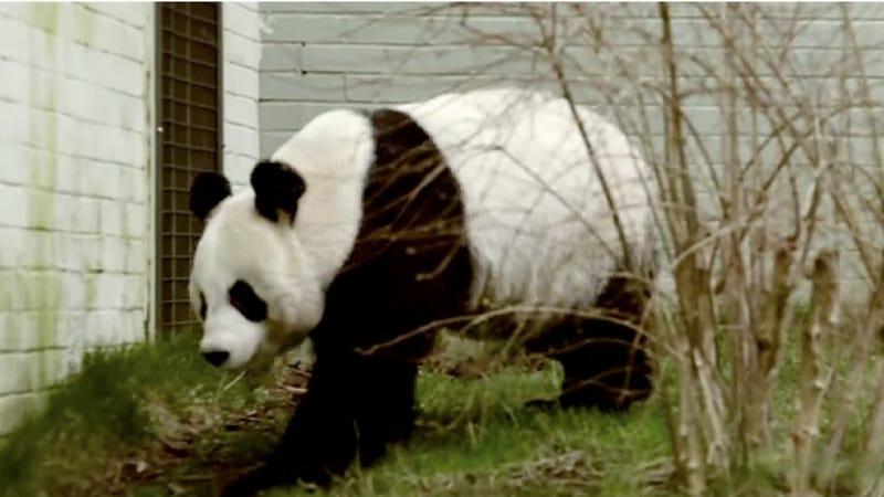 Panda FuckWatch 2013 Kicks Into High-Gear with Rigorous Panda Sex-Training Regimen