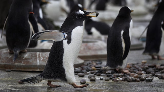 Penguin Picks Out A Huge Rock For His Ladyfriend