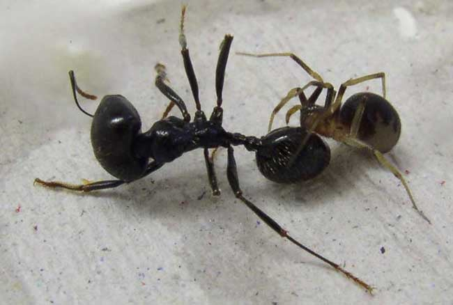 Why Spiders Always Eat Ants By Starting With The Head