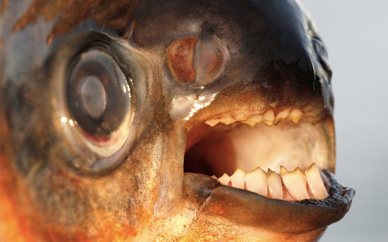 "Detroit's ""Testicle-Eating"" Monster Fish Won't Actually Eat Your Balls"