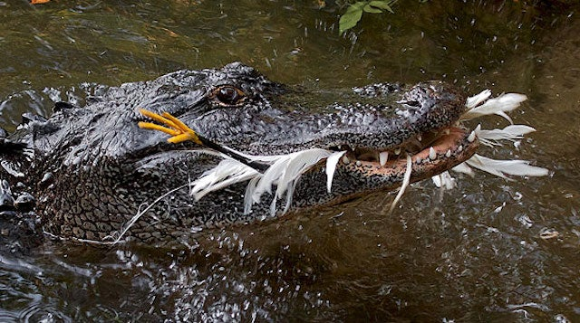 Bad news, everyone: Tool use has been observed in crocodiles