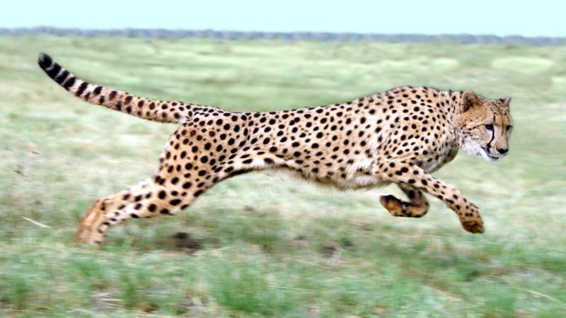 We finally have an accurate measurement of a cheetah's top speed