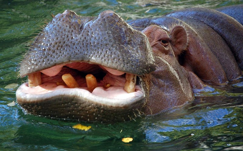 Hippos Are The Most Underappreciated of African Megafauna