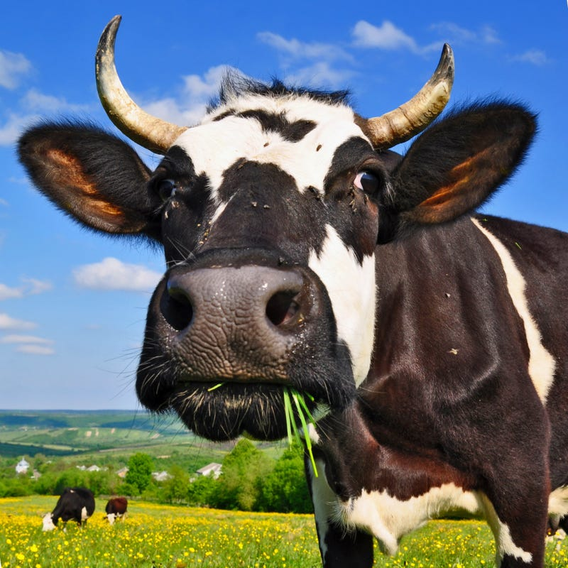 Brazilian Man Killed in His Bed By Falling Cow