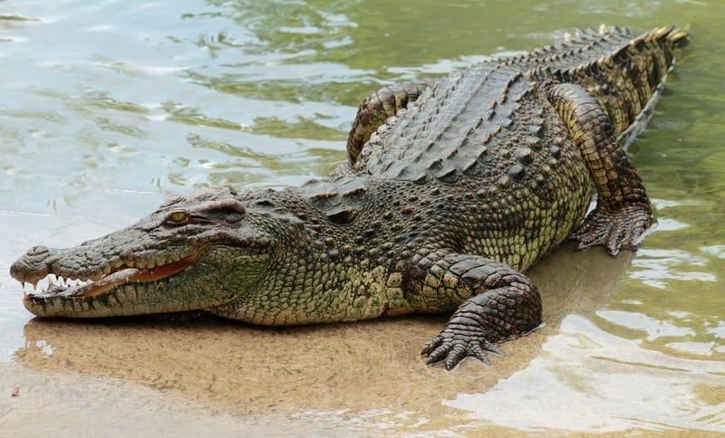 Giant Crocodile Drags Swimmer to Death, Ruins Birthday Party