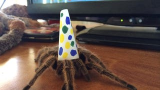 Here is a tarantula in a party hat
