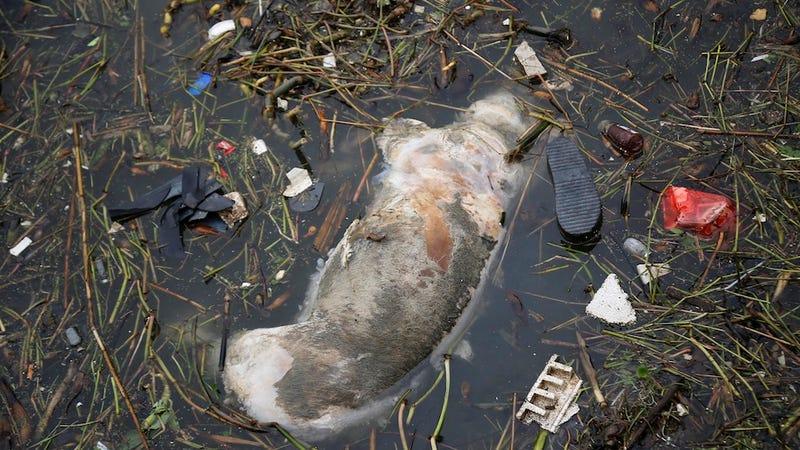 6,000 Disease-Ridden Dead Pigs Found Clogging a River in Shanghai