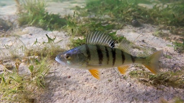 Traces of anxiety drug in rivers make fish braver and less social