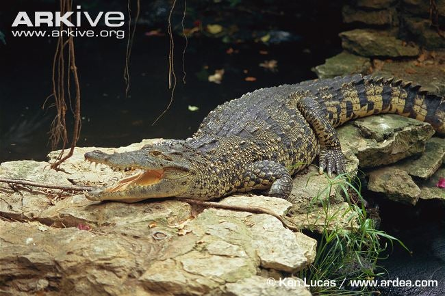 Sunday Crocodilian - Crocodylus rhombifer Edition