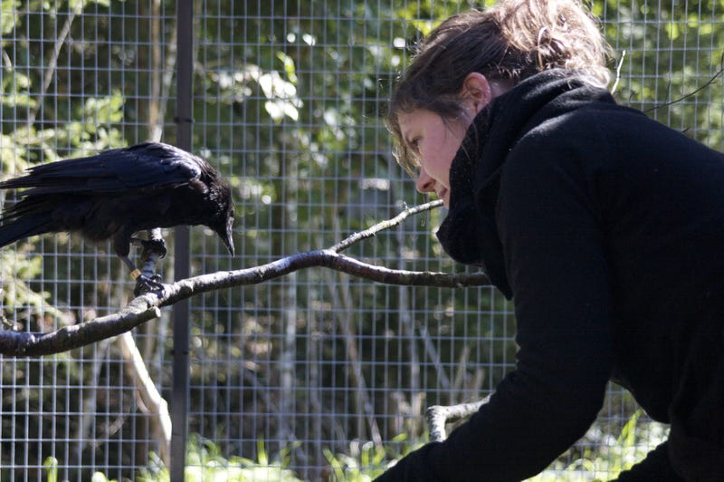 What Can Crows and Ravens Teach People About Resisting Temptation?