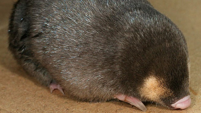 Why would a blind, subterranean mole need shiny fur?