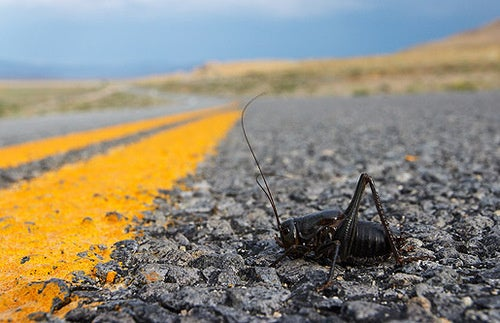 Get ready for the grasshopper and cricket swarms this summer