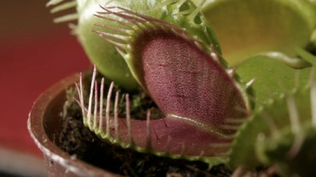 Robotic Venus flytraps will trap bugs and eat them for fuel