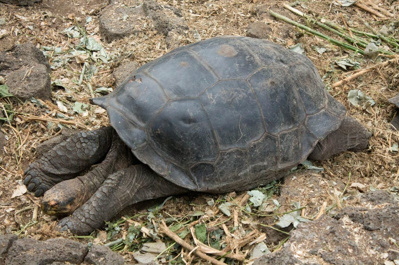 Diego the Loverboy Sires Over 800 Baby Tortoises, Saves His Species