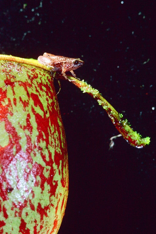 Ultra-tiny frogs discovered living like faeries inside pitcher plants
