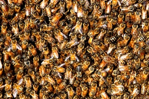 95-Year-Old Man Survives Over 400 Bee Stings
