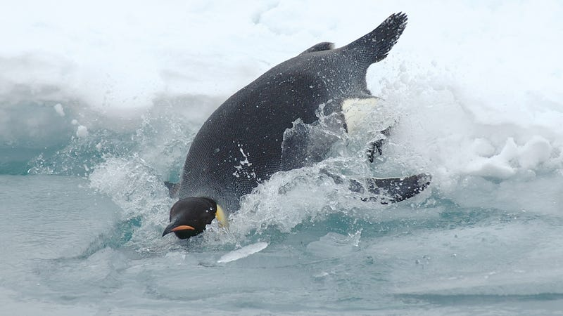 How do emperor penguins survive underwater long after their oxygen should be depleted?