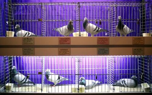 Canada's Ponzi Scheming 'Pigeon King' Arrested
