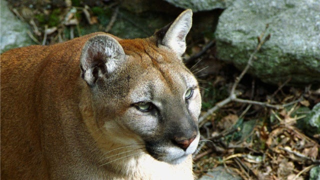 Woman's 'Rowr, I'm a Cougar' Prank Results in Gunfire