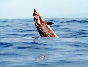 Naval sonar drives whales from feeding grounds