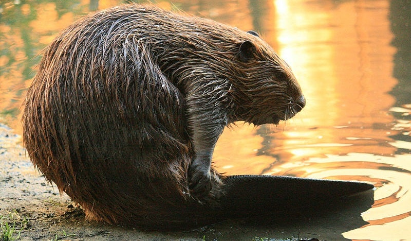 Scientists Acquire More Proof That Only Beavers Can Save the World
