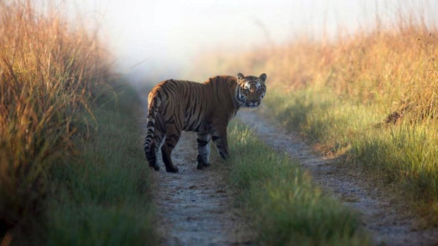A tiger in India has killed 10 people in six weeks