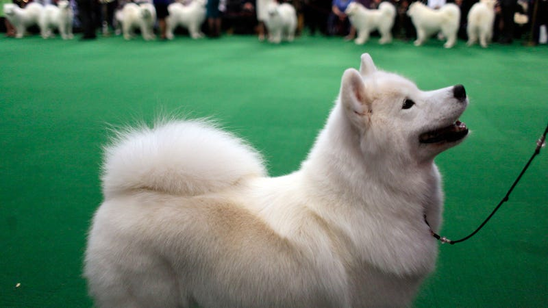 Foul Play Suspected in the Mysterious Death of a Show Dog