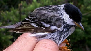 "Scientists have recorded the longest non-stop migratory flight made by birds. By equipping blackpoll warblers with a GPS, researchers learned the diminutive 12 gram bird can cross the Atlantic — an average distance of 1,580 miles (2,540 km) — over just two to three days. This migration is ""on the brink of impossibility."""